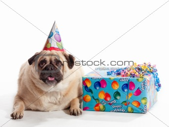 Image 3992582 Birthday Pug From Crestock Stock Photos