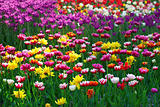 Multicolor tulips