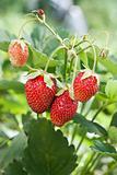 Fresh strawberries with ladybug