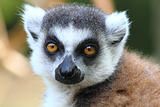 lemur monkey 