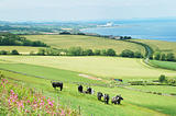 cattle in field and east coast Berwickshire