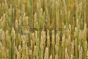 Wheat background