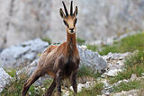 chamois (Rupicapra Carpatica)