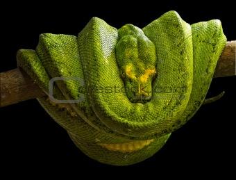 boa esmeralda (Corallus caninus)