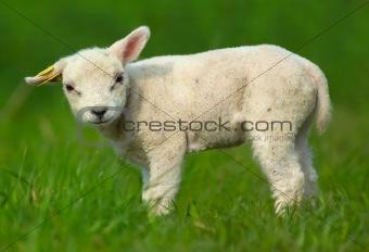 Cutest Lamb
