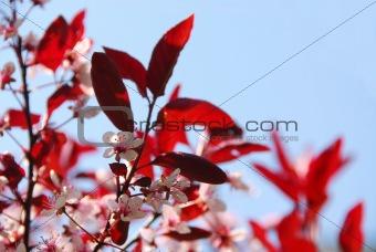 Bloomig cherry
