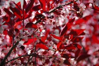 Bloomig cherry tree