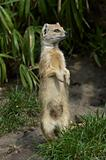 yellow mongoose standing up