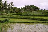 Rice-fields in Asia