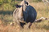 Whito Rhino