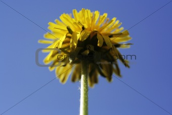 Towering dandelion on a blue sky