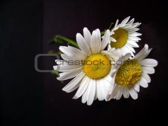 daisies on black