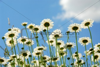 Daises with blue sky