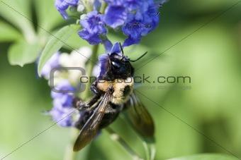 Bee on Butterfly Bush 9453