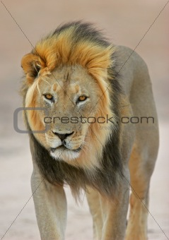 Black-maned lion