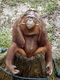 Orangutan - 1