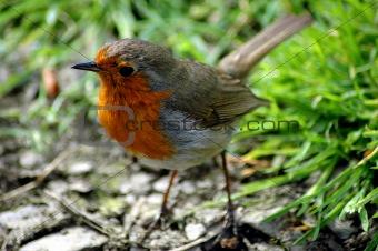 Robin 7