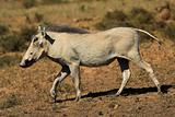 Jogging warthog