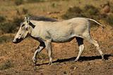 Jogging warthog