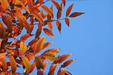 Autumnal  red leaves against a clear blue sky