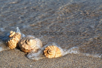 Beach Seashell