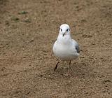 nice sea gull