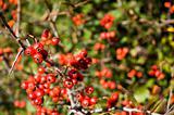Wild Tree Berries
