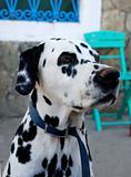 Dalmation - Portrait