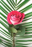 One beautiful pink rose and leaves