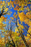 Fall maple trees