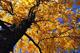 Fall elm tree