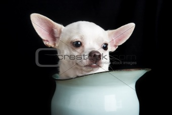 Thoughtful Chihuahua
