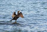 a black cormorant