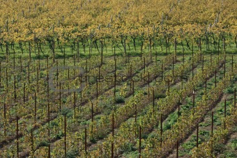 Autumnal vineyard geometry