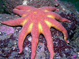 Morning Sun Star (Solaster dawsoni)