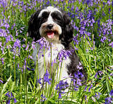 Cute dog in a field of bluebells