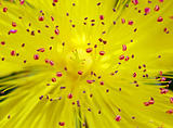Hypericum (St. Johns Wort)
