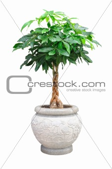asian small decorative tree isolated
