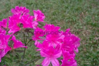 Azalea flowers