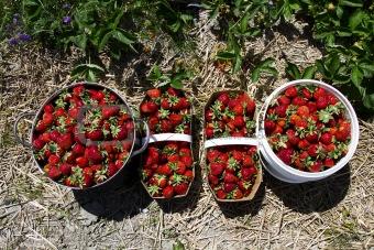 crop of strawberrie