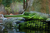 Indian Gavial / Gharial (Gavialis gangeticus)