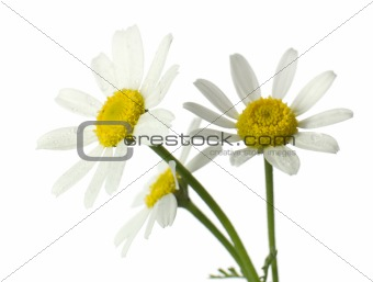 Chamomile flowers. Isolated on white, closeup.
