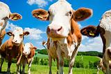 Curious simmental cows