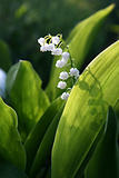 blooming Lily of the valley flover