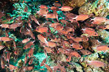 Shoal of crown squirrelfish on a coral reef