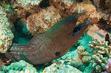 Giant moray eel with a cleaner wrasse