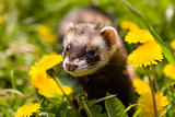 Polecat