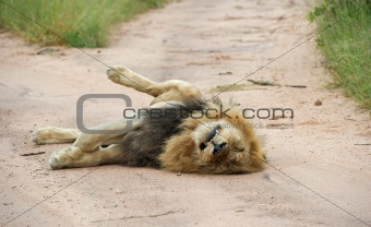 Lazy male lion
