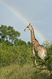 Giraffe under a rainbow