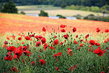 poppy field chiltern hills hertfordshire